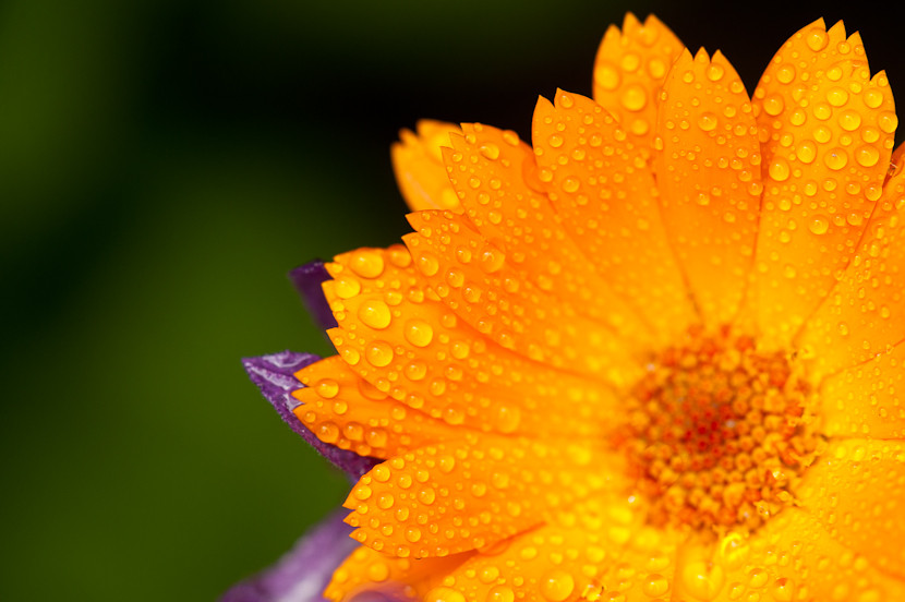 Gorgeous orange flower with raindrops on petals