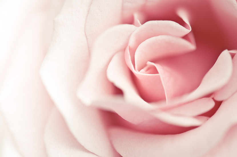 Beautiful soft pink rose
